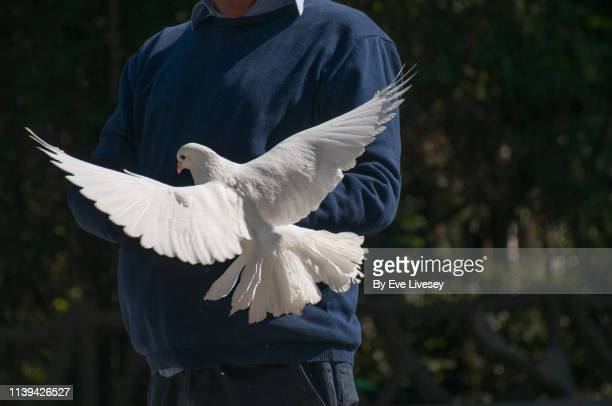 man feeding a white dove - tame stock pictures, royalty-free photos & images