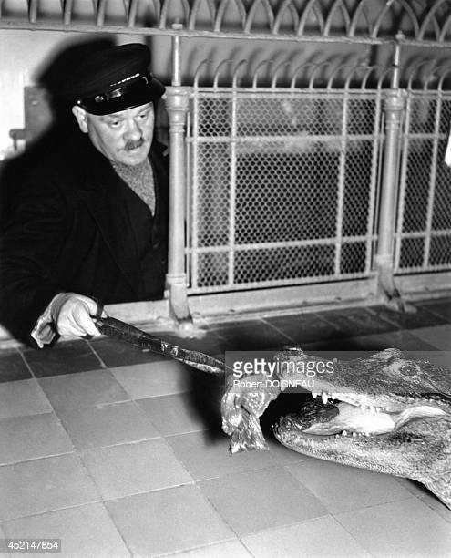Man feeding an alligator at the Jardin des Plantes 1943 in Paris France