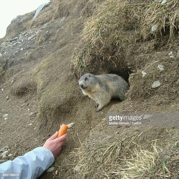 Man Feeding Beaver With Carrot