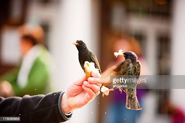 man feeding blackbirds sitting on his hand - merel stockfoto's en -beelden
