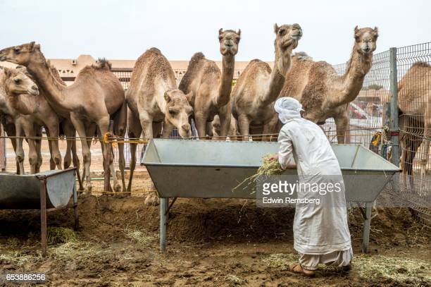 man feeding camels - traditional clothing stock pictures, royalty-free photos & images