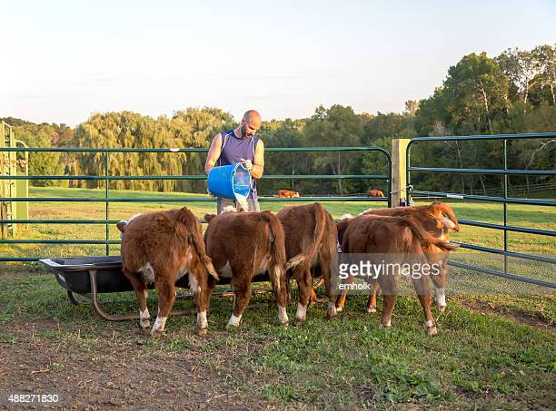 Man Feeding Corn To Hereford Calves in Evening