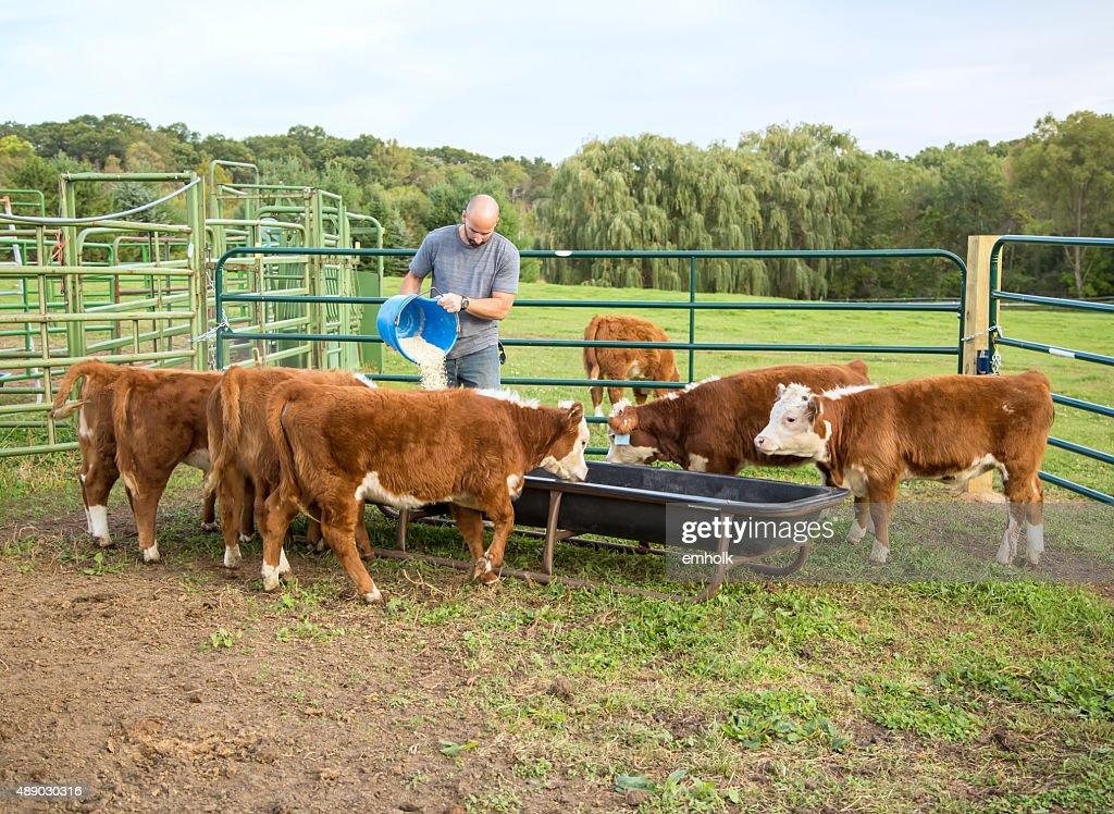 Man Feeding Corn to Hereford Calves : Stock Photo