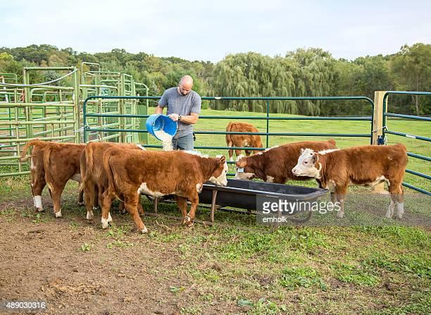 Hombre alimentación de los terneros de Hereford de maíz