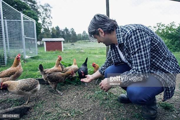 Man feeding hens at poultry farm