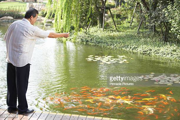 Man feeding koi carpe in fish pond