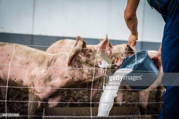 Man feeding milk to pig