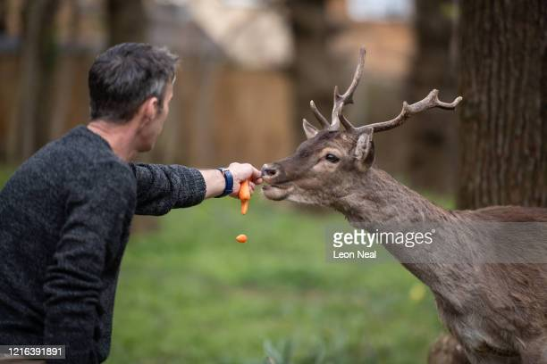 A man feeds a Fallow deer from Dagnam Park near his home as they rest and graze in a patch of woodland outside homes on a housing estate in Harold...