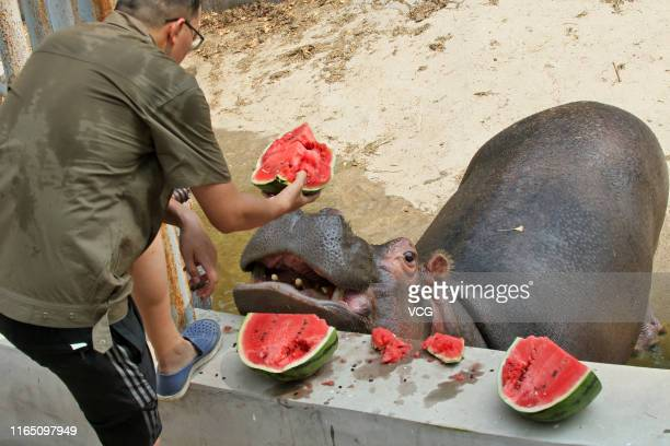 A man feeds a hippopotamus chilled watermelons at a zoo on July 29 2019 in Yantai Shandong Province of China