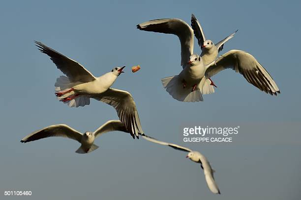 A man feeds seagulls by throwing pieces of bread in the air over the river Po on December 12 2015 in Turin AFP PHOTO / GIUSEPPE CACACE / AFP /...