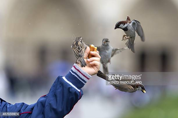 A man feeds sparrows in front of the NotreDame cathedral on July 11 2014 in Paris AFP PHOTO /KENZO TRIBOUILLARD