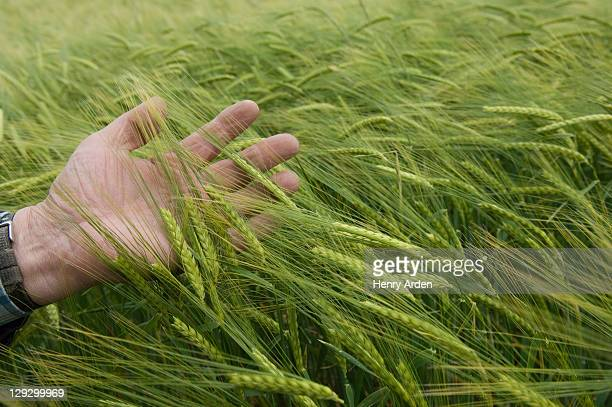 man feeling wheat stalks - unripe stock photos and pictures