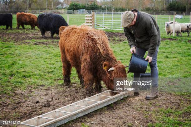 a man filling a feed trough for a group of highland cattle in a field. - trough stock-fotos und bilder