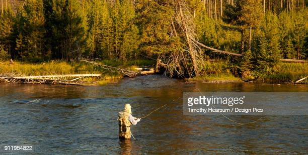 a man fishing in the yellowstone river with a forest in the background, yellowstone national park - timothy hearsum fotografías e imágenes de stock