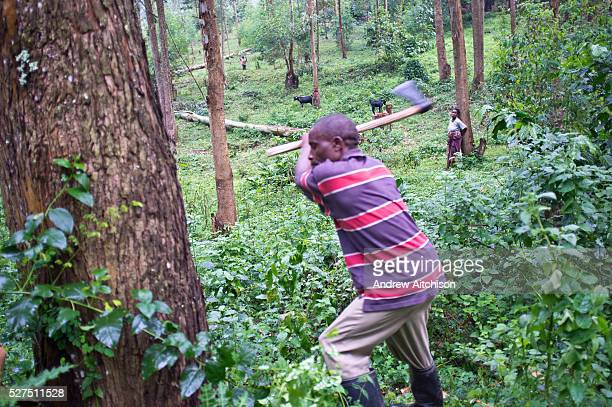 A man from Buhoma Village on the edge of Bwindi Impenetrable Forest in Uganda axes a tree down to do some building work on his home It takes him an...