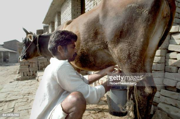 A man from the Yadav milks a cow October 28 1991 outside of Bihar's capital in Patna India Bihar is known as the breadbasket state of India Yadavs...