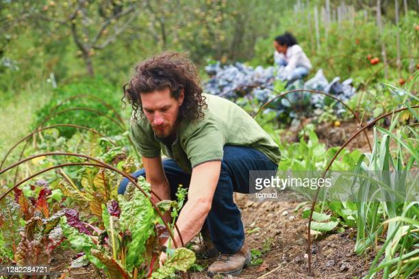 man gardening - crucifers stock pictures, royalty-free photos & images