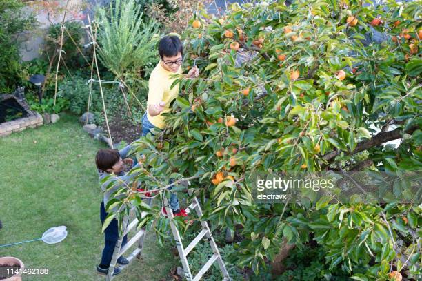 man gathering kaki in de tuin - fruitboom stockfoto's en -beelden