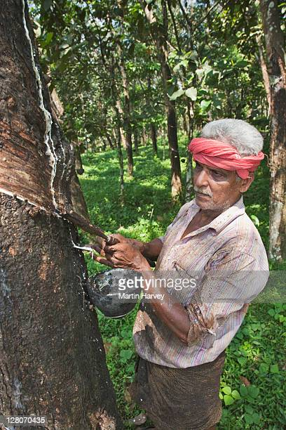 Man (56 years old) gathering rubber from rubber tree (Hevea brasiliensis), cutting through the planting cycle to optimise the latex yield. Kerala, India. Model Released.