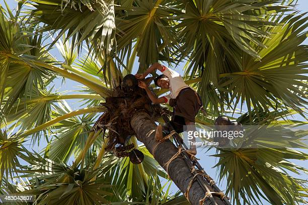 A man gets juice from a palm tree The juice is then transformed into sugar or alcohol