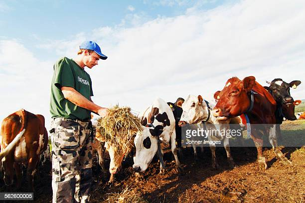 Man giving cows hay on pasture
