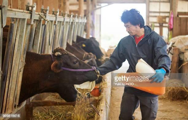 牛に食べ物を与えて男。