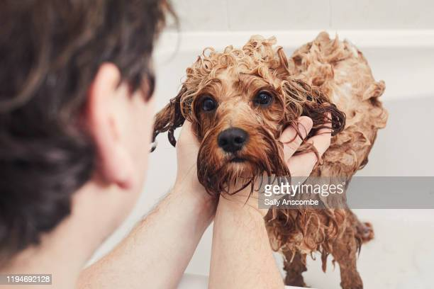 man giving his pet dog a bath - human hand stock pictures, royalty-free photos & images