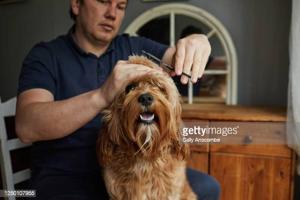 man giving his pet dog a haircut - pampered pets stock pictures, royalty-free photos & images