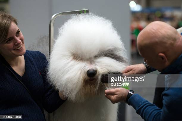Man grooms his Old English Sheepdog on the third day of the Crufts dog show at the National Exhibition Centre in Birmingham, central England, on...