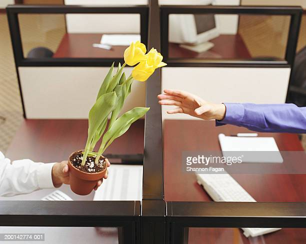 Man handing woman pot of tulips to woman in office, close-up