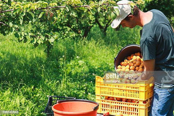 man harvest fruit tree - apple harvest stock pictures, royalty-free photos & images