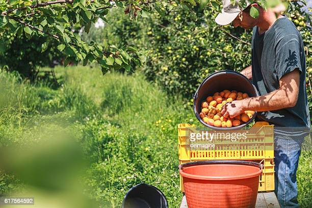 man harvest fruit tree - apricot tree stock pictures, royalty-free photos & images