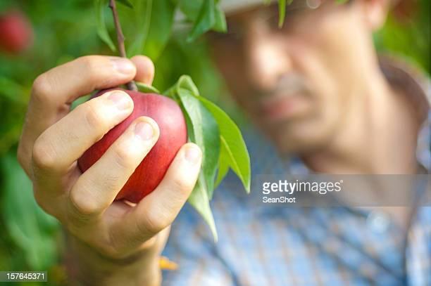 Mann ernten eine reife Pfirsich