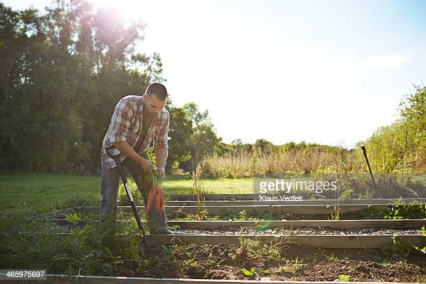 Man harvesting carrots in his garden at sunset