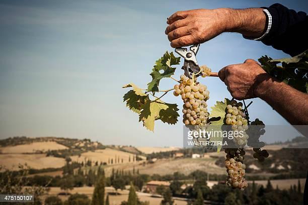 Man harvesting grapes, Siena, Valle Orcia, Tuscany, Italy