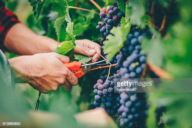 man harvesting in vineyard - druif stockfoto's en -beelden