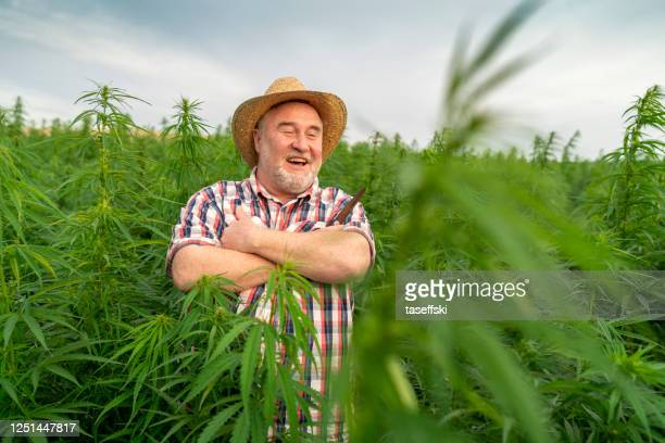 man harvesting medical marijuana - forbidden stock pictures, royalty-free photos & images