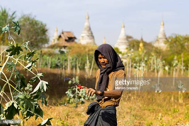man harvesting spiky green fruits with knife - merten snijders stock pictures, royalty-free photos & images
