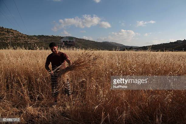 A man harvesting the wheat in his family land in Assawyeh Nablus city of the West Bank on May 31 2015 Nablus city northern of the Palestinian...