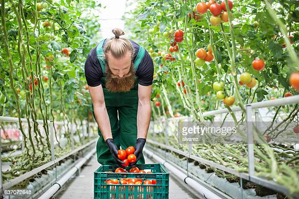 Man harvesting tomatoes in greenhouse