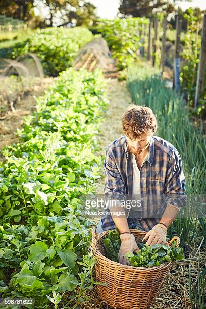 man harvesting vegetables in organic farm - organic farm stock photos and pictures