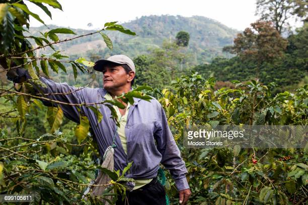 A man harvests coffee beans on a farm in rural Colombia.