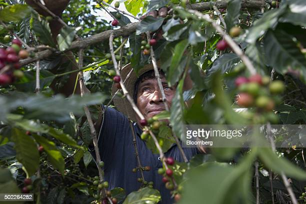 A man harvests coffee cherries at a plantation on the slopes of the Agua volcano near San Miguel Escobar Guatemala on Thursday Dec 17 2015 Coffee...