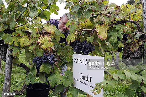 A man harvests grapes on October 15 2013 in Sarragachies southwestern France department of Gers in a wineyard featuring since 2012 in the French...