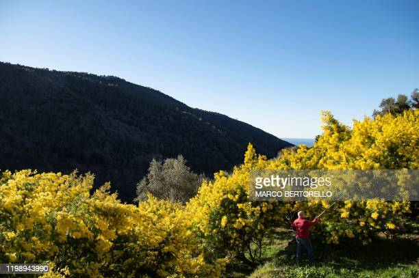 A man harvests Mimosa branches on February 5 2020 amid Mimosa trees near the village of Seborga northwestern Italy Workers in northwestern Italy are...