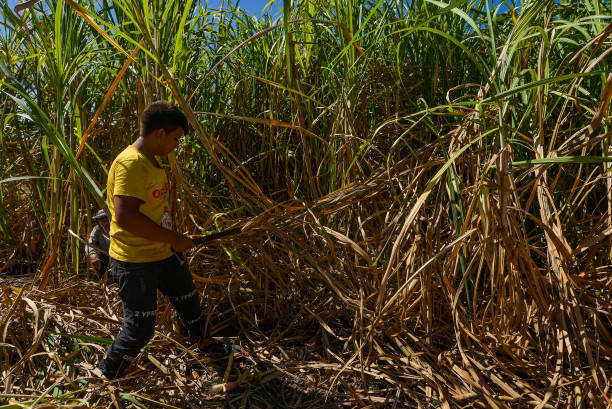 SLV: Sugar Harvest In El Salvador Amid Coronavirus Pandemic