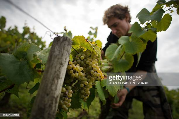 A man harvests the wine grapes on September 21 2015 at the Muscadet vineyards of the Cognettes domain in Clisson near Nantes western France Only a...