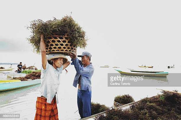 Man helps an old woman seaweed farmer lift a heavy basket of freshly harvested seaweed onto her head. Seaweed farming is the traditional main...