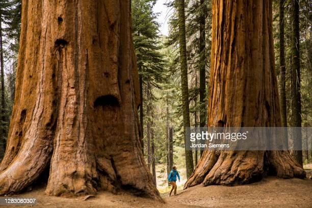 a man hiking beneath giant sequoia trees. - non urban scene stock pictures, royalty-free photos & images