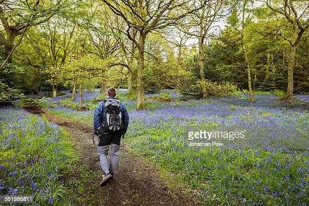 Man hiking through bluebells woods, Pateley Bridge, Nidderdale, Yorkshire Dales